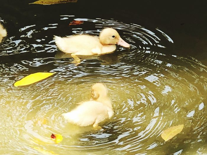 🐣💞 Heartwarming Ripples In The Water Animal Themes Young Animal Water Waterfront Duck Duckling Swimming Nature Outdoors