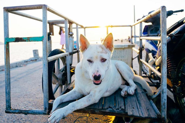 Close-Up Portrait Of Dog On Cart