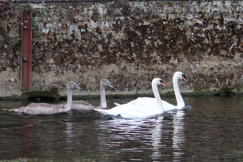 Swans and their