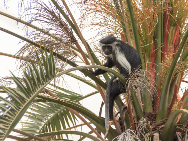 Angolan black and white colobus sitting on a branch on a palm tree Blanch \dark Angolana Angolese Animal Animal Themes Black Bloom Colobus Monkey Color Coloring Green Honkytonk Leaves Mammal Nature No People Palm Palm Tree Seated Sitting Tree White Whitey Wood, Color, Bloom, Coloring,