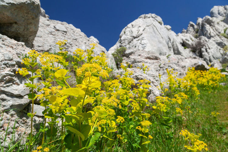 Yellow flowering plants and rocks against clear sky