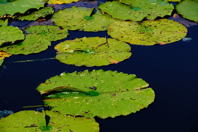 High angle view of water lily leaves floating on lake