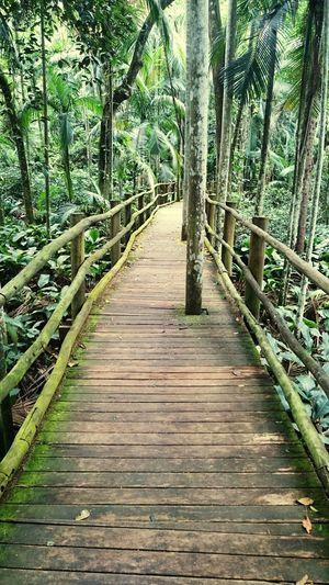 Mata Atlântica Botanico São Paulo - Brasil Ponte