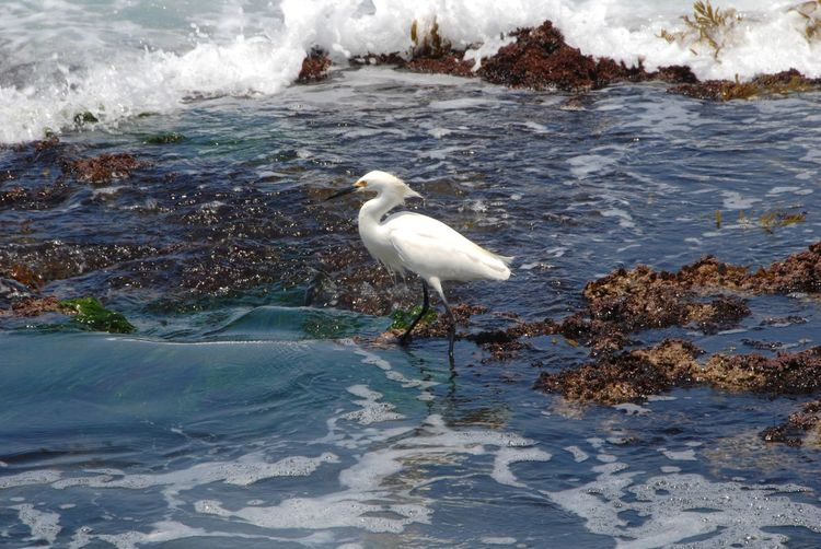Animal Themes Animal Wildlife Animals In The Wild Beauty In Nature Bird Bird Walking Day Egret Heron Bird Nature No People One Animal Outdoors Wading In Water Water Waterfront Waves And Rocks White Bird White Color