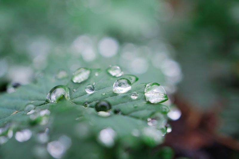 raindrops on the green plant leaves in the nature Plant Leaf Leaves Green Raindrops Drops Water Floral Garden Nature Beauty In Nature Beautiful Light Bright Shine Freshness Fresh Backgrounds Wallpaper Green Color Plant Part Outdoors
