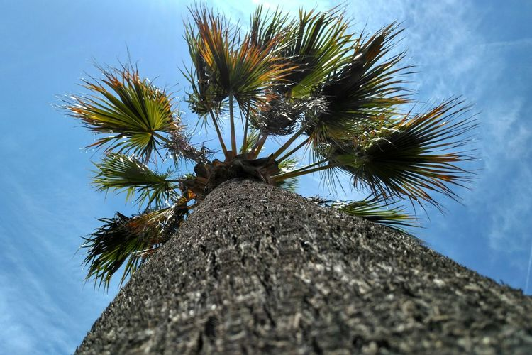 Sky Beauty In Nature Nature Textured  Clear Sky Palm Tree Palm Tree Tree Tree Trunk Low Angle View Day Nature Outdoors Blue No People Growth Close-up