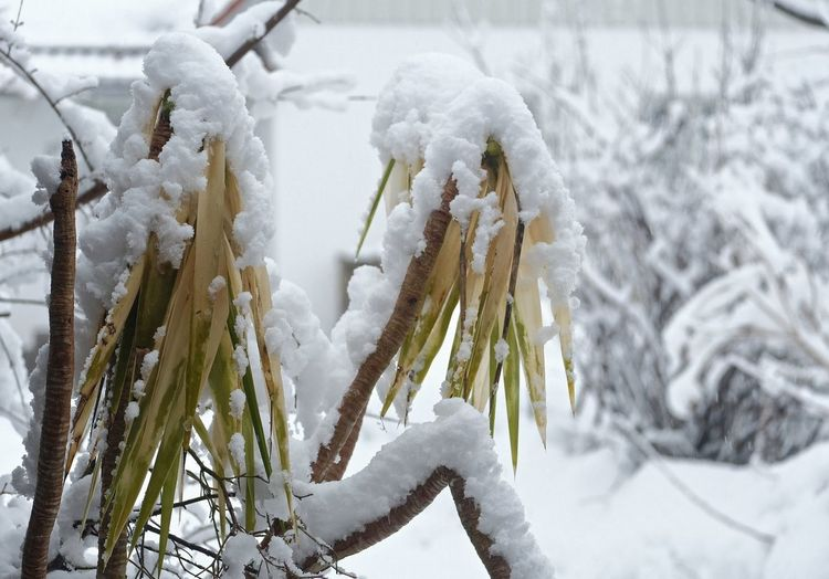 Nur die Harten kommen in den Garten ... Cold Temperature Winter Snow Frozen White Color Nature Covering Close-up Extreme Weather Powder Snow Hanging Palm Tree Palme Ice Focus On Foreground