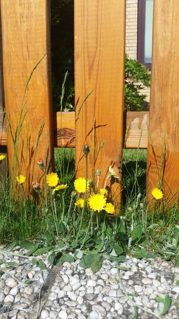 Outdoors Grass Yellow Nature Summertime Summer Live For The Story Green Color Flowers Löwenzahn Butterblumen Dandelion Butterflower Fence