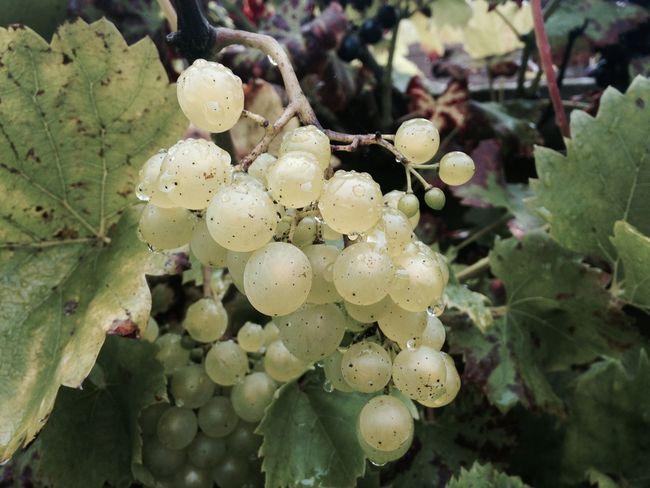 Trauben Traubenlesen Wein Weinberg Wine Wineyard Winelover Flowers,Plants & Garden Gardening Garden Photography Garden Grapes