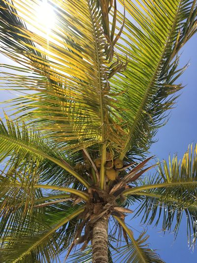 Palm Tree Tree Palm Leaf Low Angle View Growth Nature Tree Trunk Tropical Climate Close-up Coconut