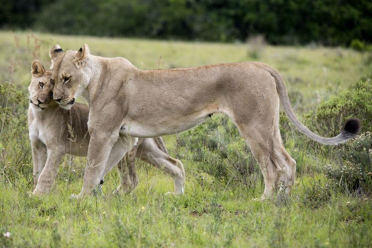 Lions on field