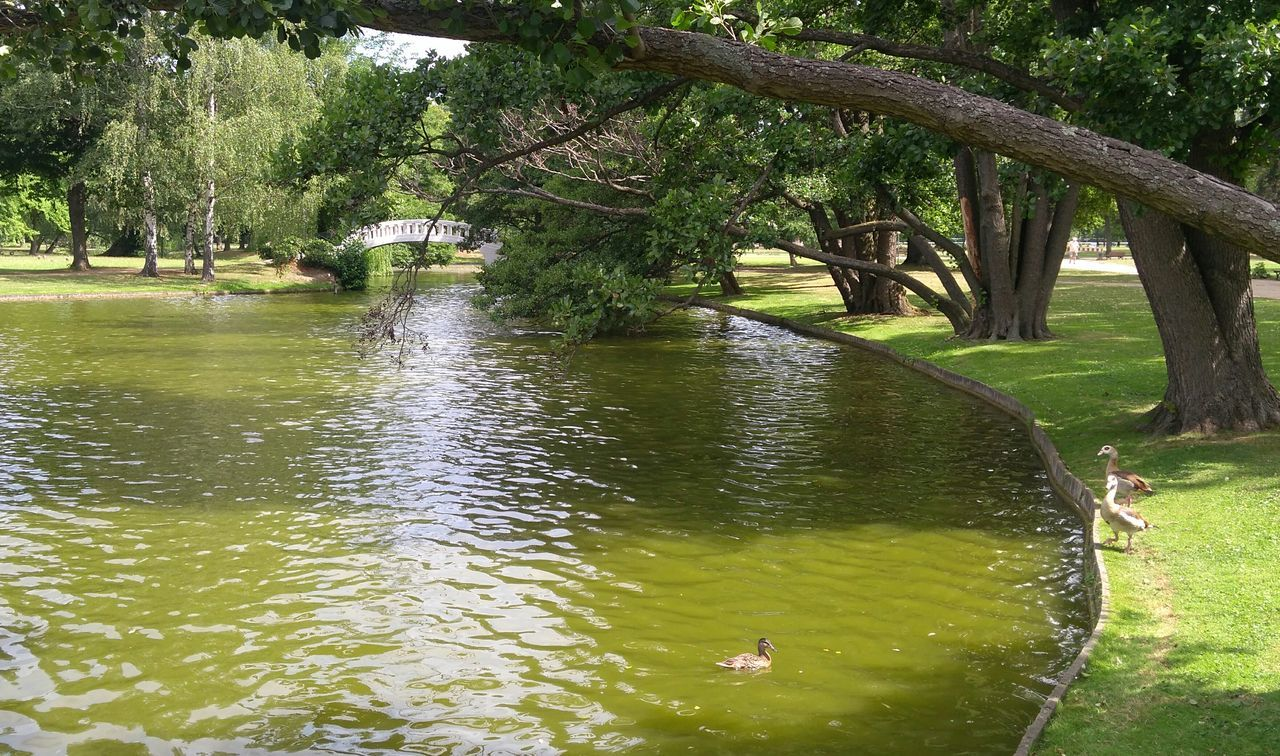 water, animal themes, tree, animals in the wild, day, lake, nature, one animal, outdoors, waterfront, animal wildlife, swimming, duck, water bird, beauty in nature, bird, swan, no people, grass
