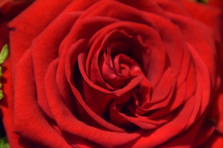 Close-up of red rose Backgrounds Beauty In Nature Close-up Day Elégance Flower Flower Head Fragility Freshness Full Frame Light Macro Nature No People Outdoors Petal Red Rosé Softness Summer,sunhine,clouds Sunlight, Shades And Shadows Sunshine