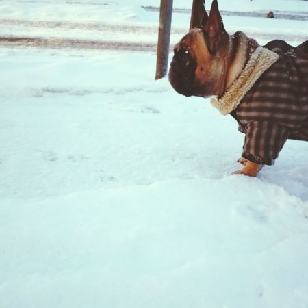 Charlie Frenchbulldog Frenchie Love Dog Animal Snow Snowing