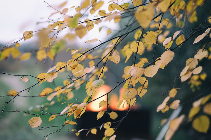 Autumn in my garden Autumn Colors Birch Bjork Branch Close-up Eld EyeEm Gallery Eyeem Sweden Fire Focus On Foreground Fujifilm Fujifilm_xseries Fujinon Garden Höst Kungshamn Leaf Outdoors Sotenäs Taking Photos Trädgården X-t2 XF56mmAPD Xt2 Yellow Leaves