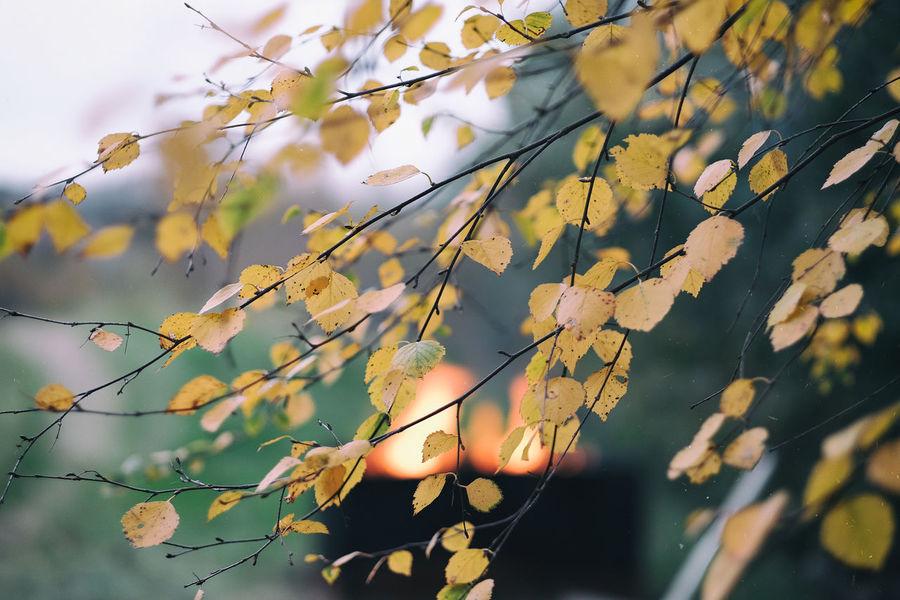Autumn in my garden Autumn Colors Birch Bjork Branch Close-up Eld EyeEm Gallery Eyeem Sweden Fire Focus On Foreground Fujifilm Fujifilm_xseries Fujinon Garden Höst Kungshamn Leaf Outdoors Sotenäs Taking Photos Trädgården X-t2 XF56mmAPD Xt2 Yellow Leaves