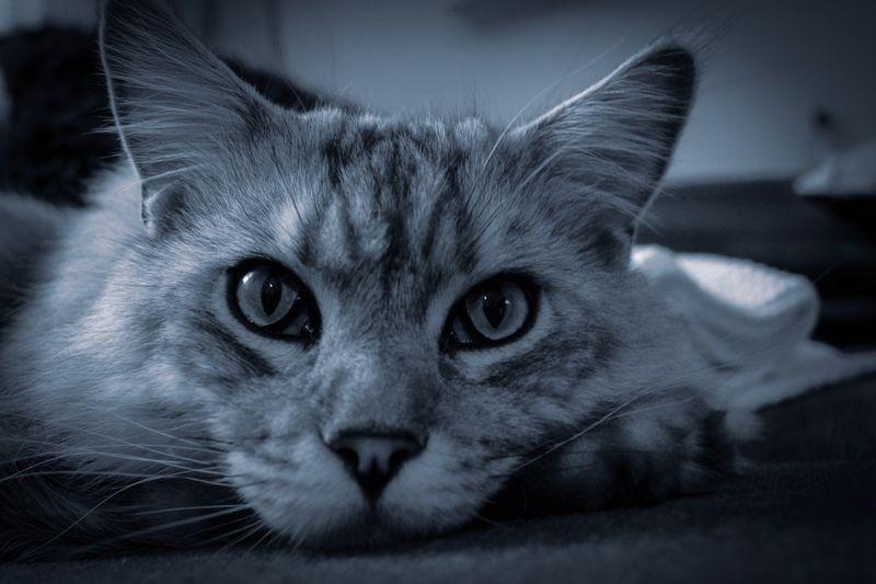 Maine Coon Cat Cat EyeEm Selects Animal Themes Animal One Animal Mammal Pets Portrait Capture Tomorrow