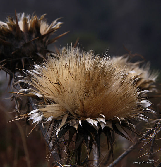 Cardo Flower Nature No People Plants Shrunken