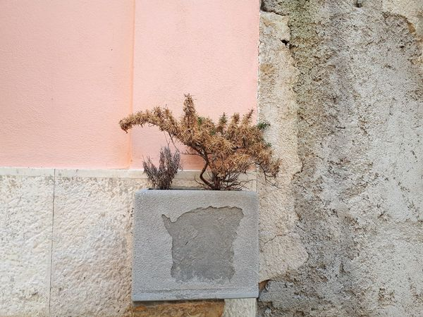 Rosemary Herb Dried Plant Dried Leaves Rosa Light Pink Pink Pink Color Grey Grey Color Old Textured  Close-up Architecture Weathered Bad Condition Peeling Off Deterioration Peeled