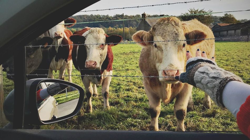 EyeEm Selects Animal Themes Livestock Cow Field Outdoors Human Hand Togetherness Sky People Nature Day Mammal Domestic Animals Standing Eyem Gallery Travel Photography Travel EyeEm Gallery EyeEm Best Shots Eyem Best Shots Nature_collection Fromthecar Sonyalpha France Avranches