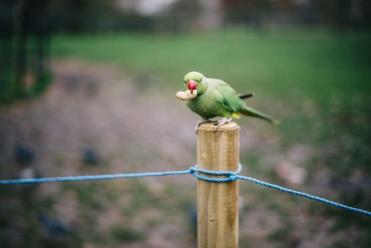 Parrot perching on wooden post