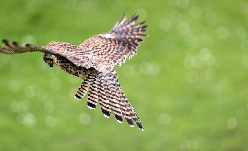 Kestrel Hover Animal Themes Bird Birdofprey Depth Of Field Flying Hoverfly Nature One Animal Wildlife Wings