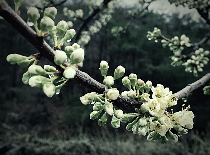 IPhoneography Iphoneonly Rain Spring Spring Flowers Flowers Trees Plum Flower Plum Tree