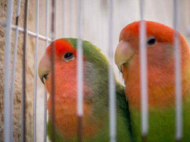 Animal Themes Animal Wildlife Animals In Captivity Animals In The Wild Beak Beauty In Nature Bird Birdcage Budgerigar Cage Close-up Day Focus On Foreground Nature No People Outdoors Parakeet Parrot Perching Trapped