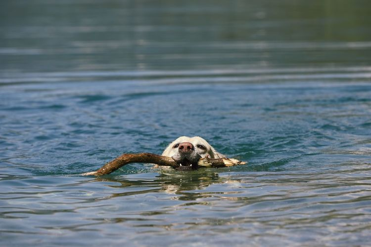 Portrait of dog swimming in water