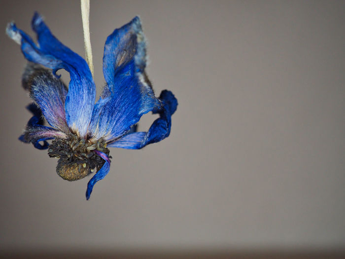 Close-up of blue butterfly on purple flower