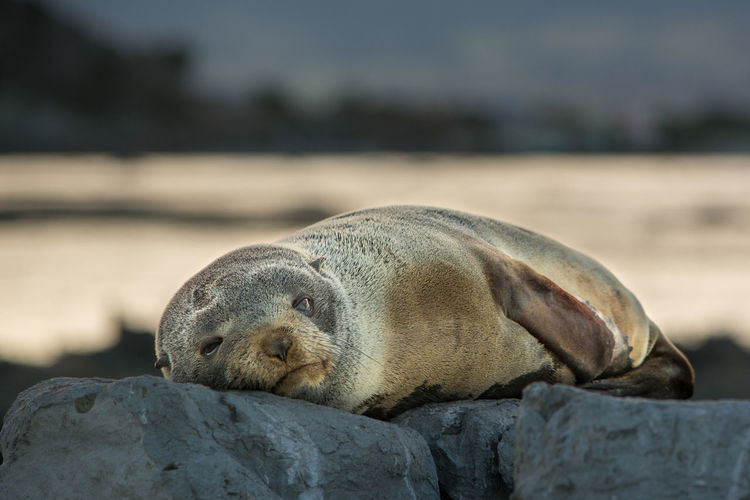 Young sea lion resting relaxed on a rock. Ania Animal Animal Head  Animal Themes Baby Close-up Day Eye-contact Focus On Foreground Mammal Nature No People Outdoors Relaxation Resting Sea Lion Seelöwe Selective Focus