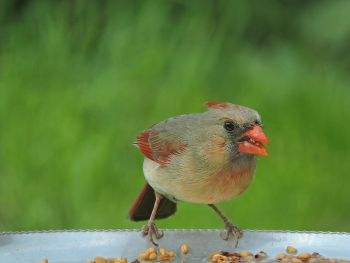 Female Cardinal Animal Animal Themes Vertebrate Bird One Animal Animal Wildlife Animals In The Wild Focus On Foreground Perching Close-up Day No People Zoology Nature Looking Full Length Selective Focus Outdoors Songbird  Looking Away