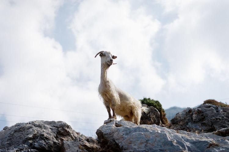 Goat Mediterranean  Greece Travel Destinations Goats Animals Wildlife Greek Islands Nature Travel EyeEm Selects Bird Perching Tree Standing Rock - Object Sky Cloud - Sky