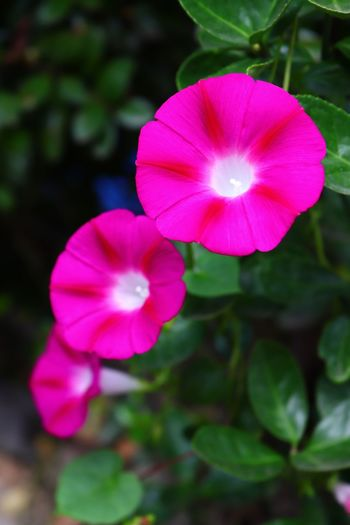 Flower Petal Flower Head Beauty In Nature Growth Blooming Plant Fragility Pink Color Nature Freshness Focus On Foreground Day Outdoors No People Close-up Periwinkle Petunia I Want To Know Your Secret, C I Always Thinking About U, G Thank You,❤️ 감사합니다