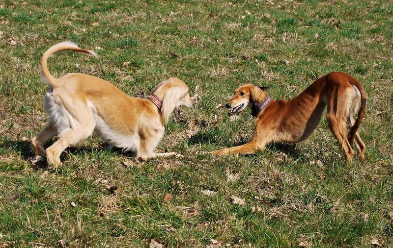 Animal Themes Day Dog Domestic Animals Grass Mammal No People Outdoors Pets Playing Dogs Saluki Togetherness