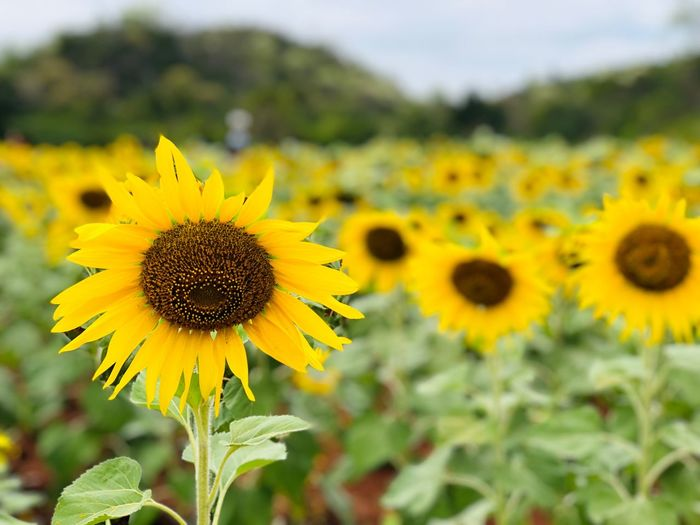 🌻🌞🌻 Yellow Flower Flowering Plant Plant Growth Fragility Flower Head Freshness Vulnerability  Beauty In Nature Sunflower Pollen Nature Field Land No People