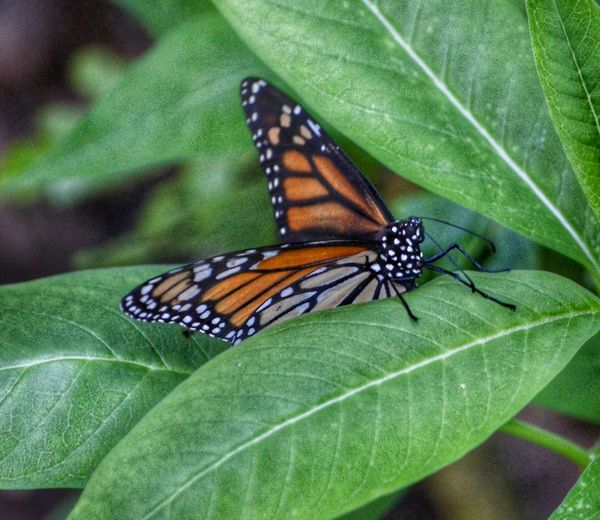 Animal Photography Naturephotolover Mariposas Monarcas Butterfly EyeEm Best Shots - Nature