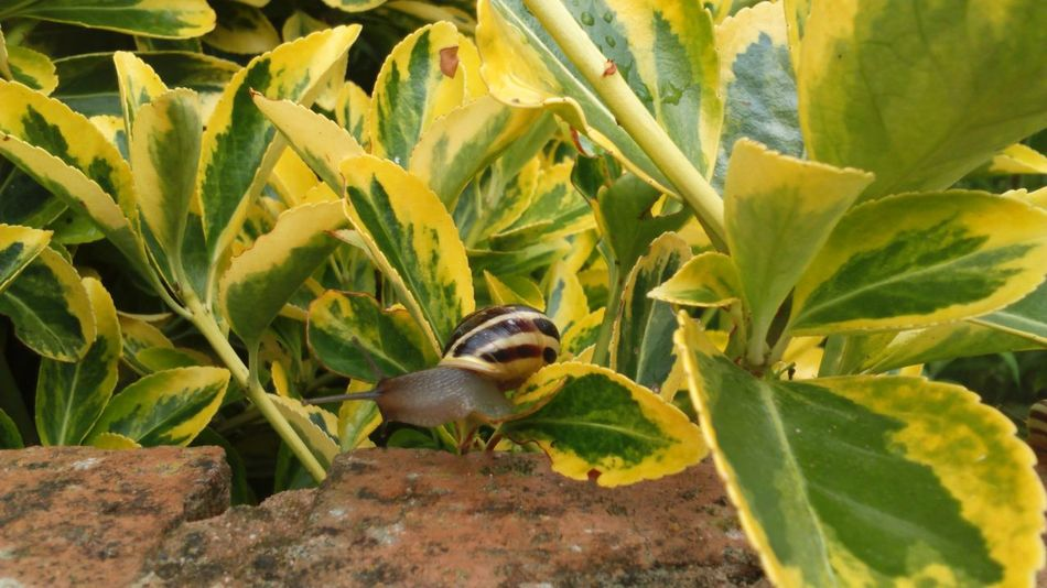 Snail Collection Yellow And Green Leaves Nature Landscape Snail Shell Snail Mollusc Nature_collection Nature Photography Nature On Your Doorstep Beauty In Nature Beautiful Nature Swirly Gastropod Snails Pace Snail On The Wall Snails Slimy Slimy Snails