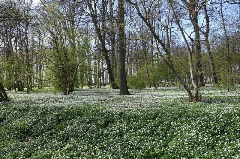 Beauty In Nature Botany Day Flowers, Nature And Beauty Freshness Green Color Nature No People Plant Spring Flowers 2017 Trees Wood Anemones