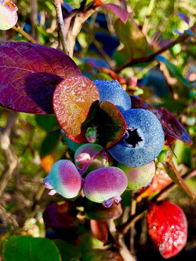 Blueberries Blueberry Plant Growth Close-up Beauty In Nature Nature Plant Part Freshness No People Day Focus On Foreground Leaf Flowering Plant Flower Berry Fruit Fruit Sunlight Food Vulnerability  Fragility Tree