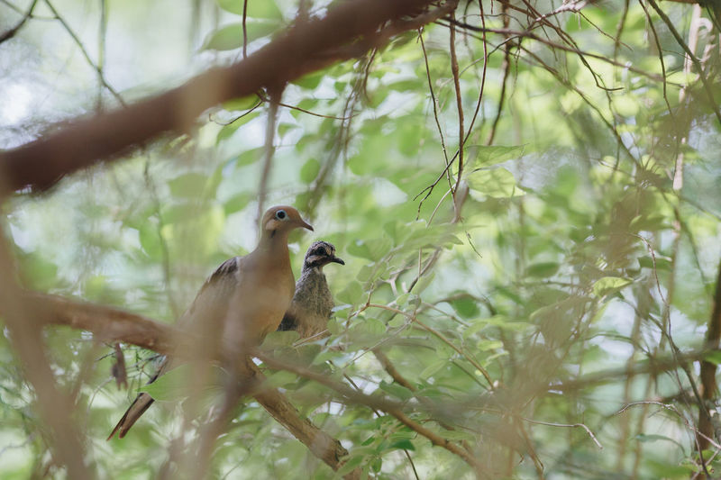 Pair of Doves Bird Photography Birds Of EyeEm  Branches Couple Doves Tree Animal Themes Animal Wildlife Animals In The Wild Bird Birds Birds_collection Branch Couple - Relationship Dove Nature No People Outdoors Pair Perching Togetherness Wild Wildlife