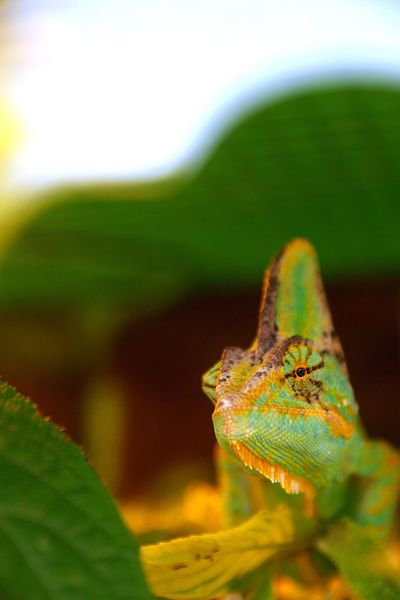 Camaleon Colombia Chamäleon Chameleon Beauty In Nature Reptile Green Color Indoors  Nature Close-up One Animal Animal Themes Leaf Animals In The Wild Green Color No People Growth Outdoors Plant Day Fragility EyeEm Best Shots EymEm Nature Lovers Eym Best Shots Eym Em Best Edits