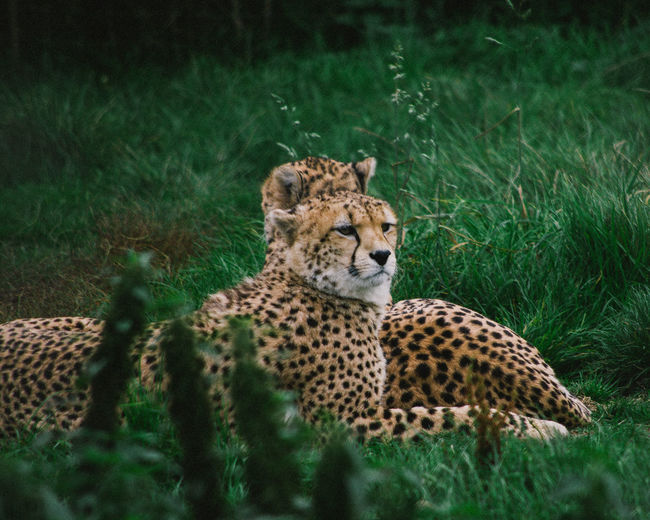 Cheetahs resting on grass