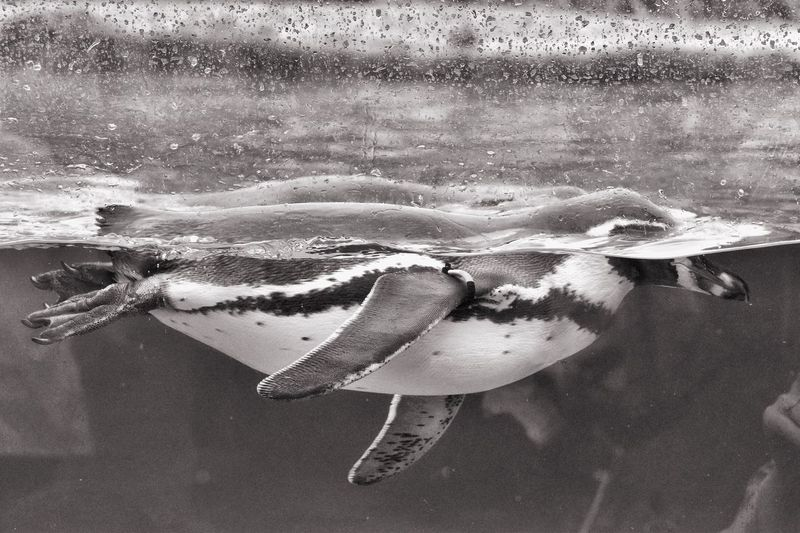 Close-Up Of Penguin Swimming In Fish Tank