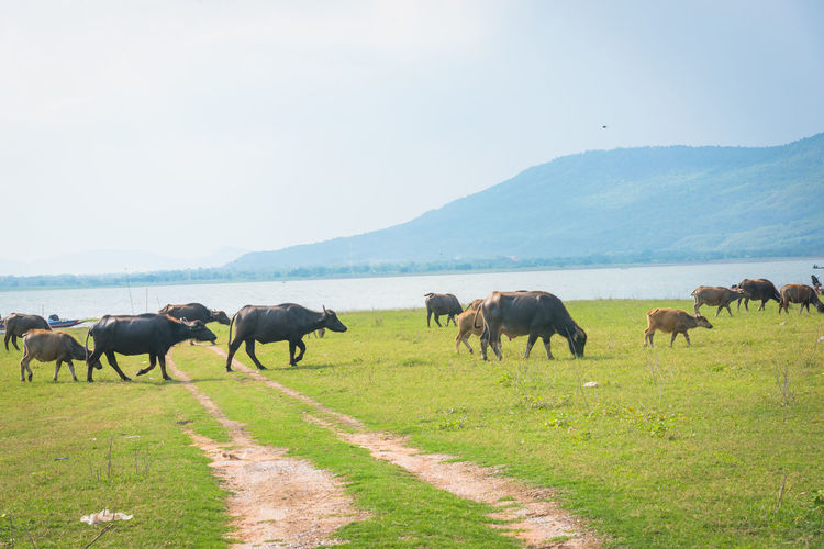Buffalo is eating grass on the lake. Animal Animal Themes Animal Wildlife Animals In The Wild Domestic Domestic Animals Environment Field Grass Group Of Animals Herbivorous Herd Land Landscape Livestock Mammal Medium Group Of Animals Mountain Nature No People Outdoors Pets Plant Sky Vertebrate