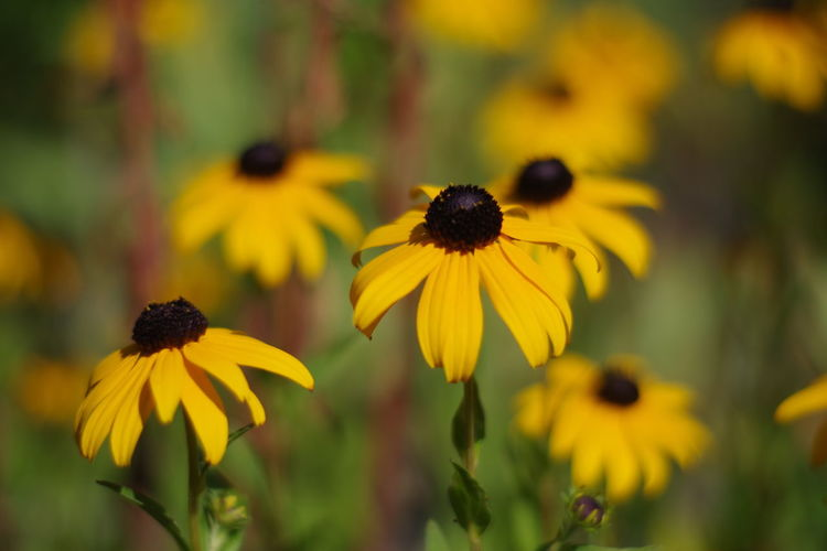 Close-up of yellow daisy flowers