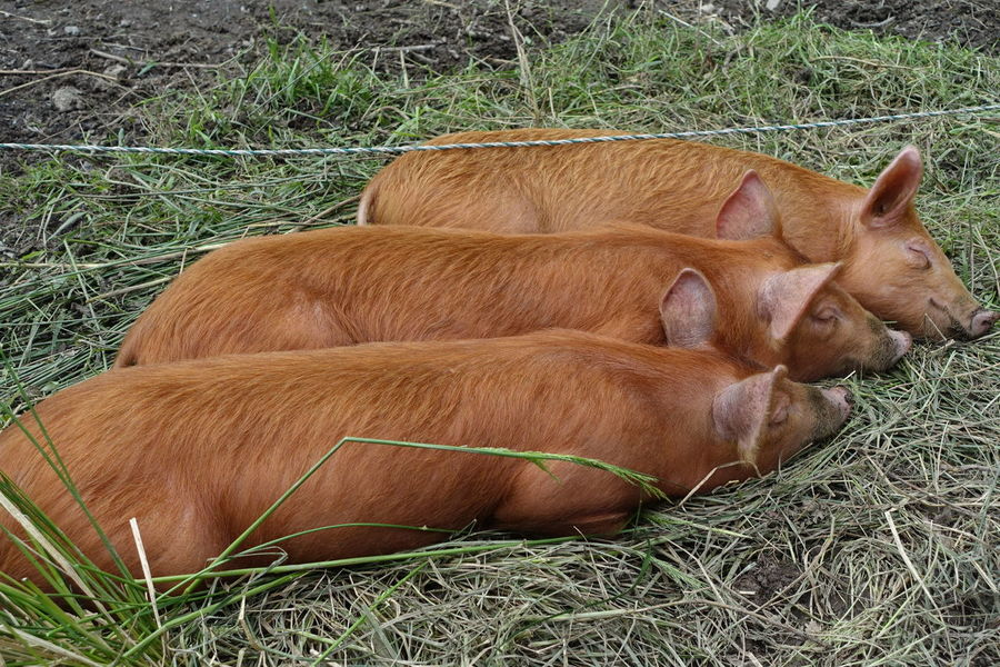 Three red skinned pigs asleep. Animals Beauty In Nature Brown Close-up Contentment Day Field Grass Grassy Growth Hay Landscape Mammal Mammals Nature No People Outdoors Peaceful Animals Photography Red Skinned Pig Rural Scene Sleep Three Pigs Tranquility