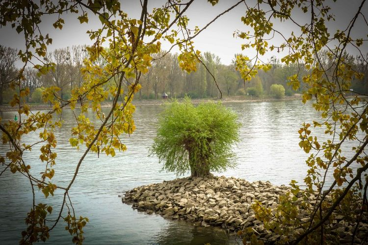 Ecosystem  Lake Landscape Nature No People Outdoors Reflection Lake Rhein Riverside Sallow Tree Water