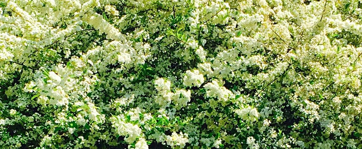 Buisson ardent, blanc Nature Plant Flower Beauty In Nature Green Color