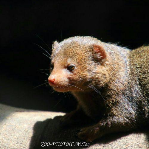 ZOO-PHOTO Zoo Animals 上野動物園 コビトマングース ハブとは戦わない